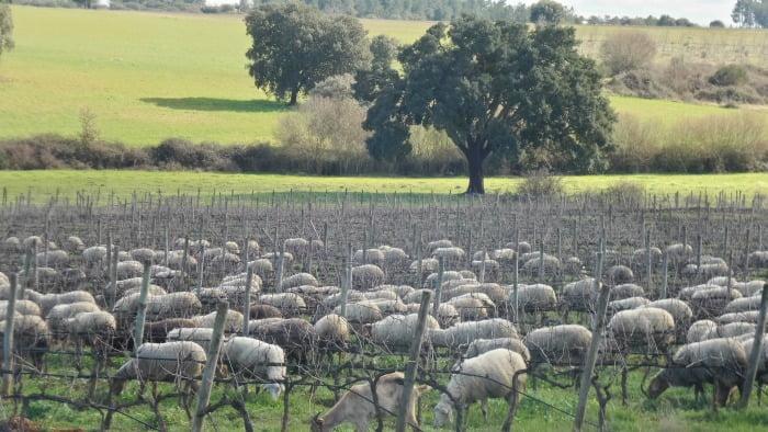 Viticultura Sustentável