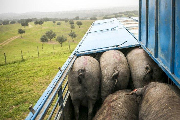Reportagem sobre o porco Alentejano Crédito: Rodrigo Cabrita