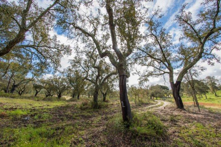 Conheça o produtor que trata os sobreiros como oliveiras