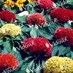 Celosia Cristata Sortida  –  002888