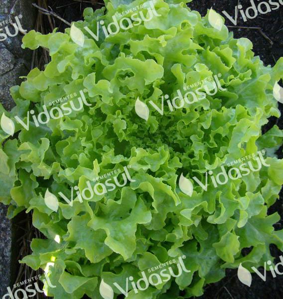Alface Mimosa Salad Bowl