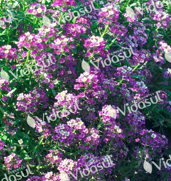 Alyssum Violeta