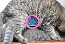 accoppiamento gatti