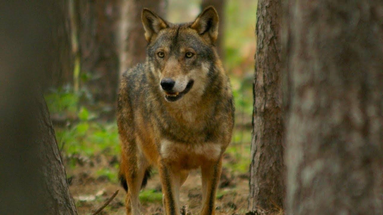 Immagine del lupo promossa in Polonia per salvaguardare la specie