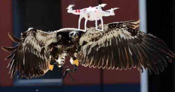 Olanda userà aquile contro i droni illegali
