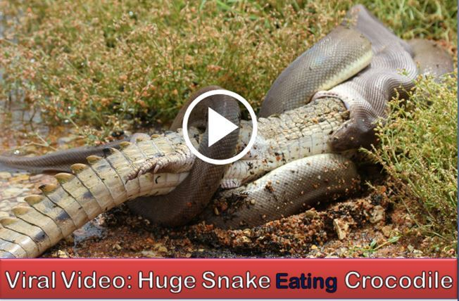 A Giant Python Eating Crocodile After Winning The Fight