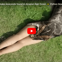World's Giant Anaconda Found In Amazon Rain Forest Python Snake Attacks