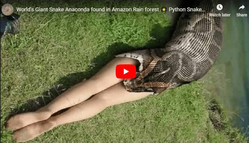 Giant Snake Anaconda