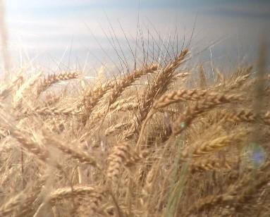 Wheat Field Motion Background
