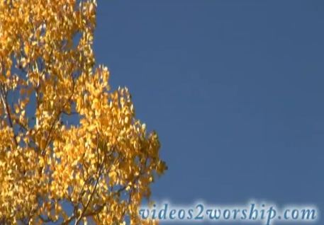 Aspen Tree With Golden Leaves Video