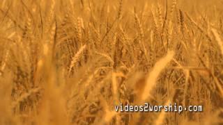 Gold Wheat: Autumn Motion Loop