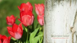 Resurrection Red Tulips Motion