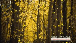 Golden Aspen Forest Fall Motion