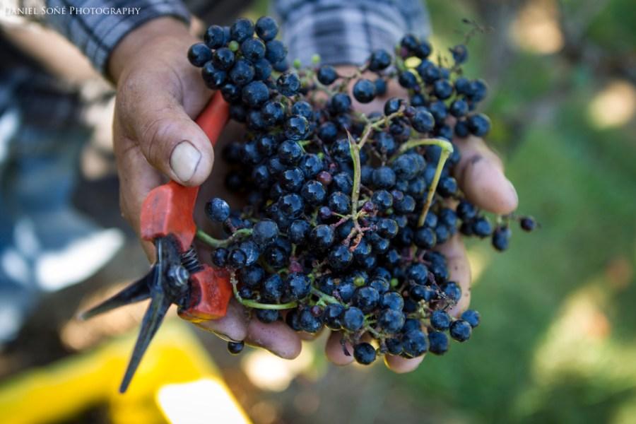 Petit Verdot uva