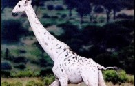 White Giraffes: Nature Documentary