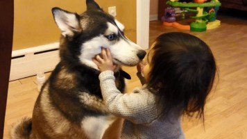 Baby Loves Siberian Husky Dog
