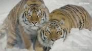 Tigers Vs Drones