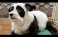 Panda Dog – A Dog Made To Look Like Panda