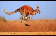 The Life Of An Australian Kangaroo
