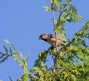Vrabac - Passeridae - Sparrow