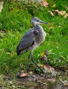 Siva čaplja (Ardea cinerea) - Grey Heron