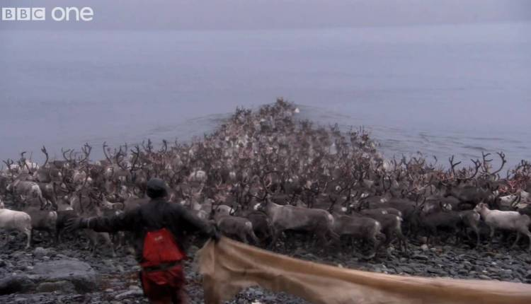 3000 Arctic Reindeer Face a Mighty Water Crossing