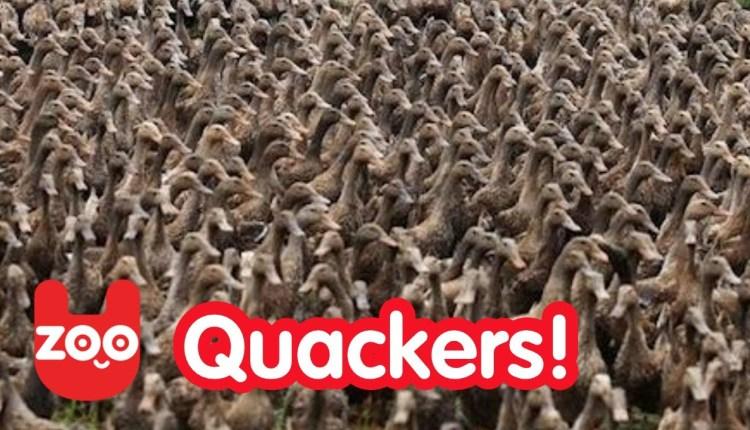 5000 Ducks Together On A Walk