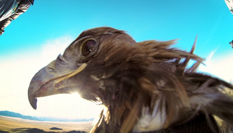 A Camera Strapped To An Eagle For A Breathtaking Footage
