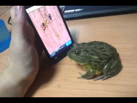 A Frog Plays Smartphone Game