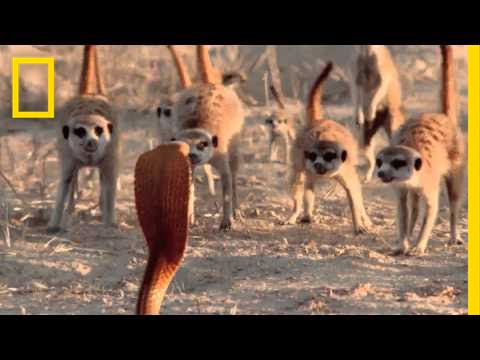 Audiences Are Wild About Meerkats