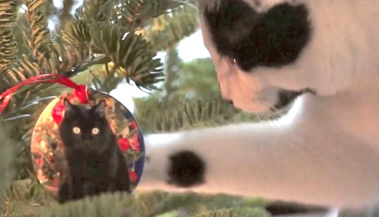 Cats Decorate Christmas Tree