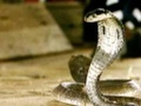 Cobra Town in Thailand