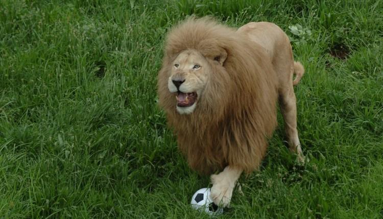 Crazy Lion Moves Over A Football