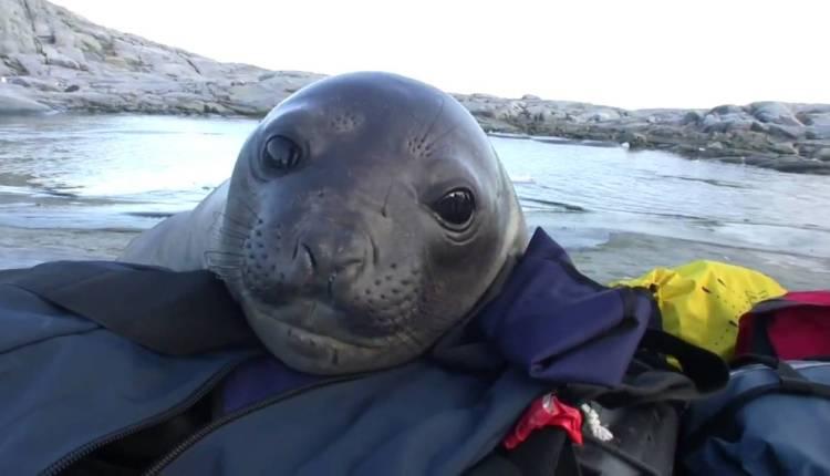 Curious Baby Elephant Seal