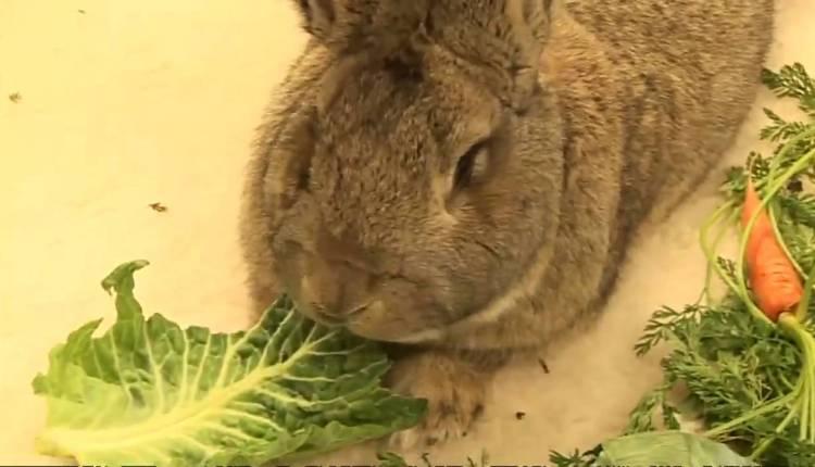 Darius – The World's Largest Bunny Rabbit