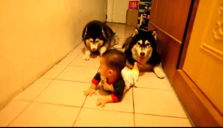 Dogs Imitate Baby Crawling