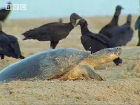 Giant turtles Vs Vultures – BBC Wildlife