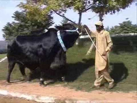 King Kong Bull of Pakistan