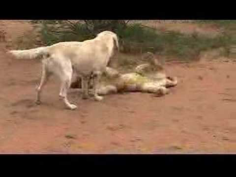Lion Cub Playing with Dog