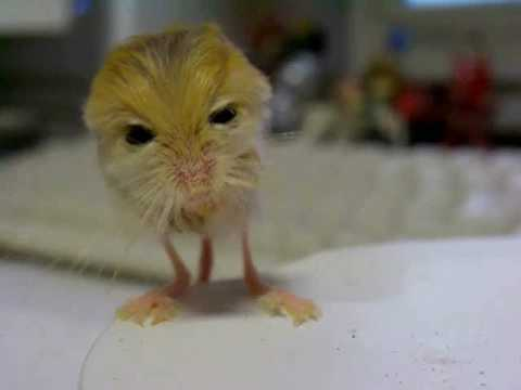 Meet The Cutest Animal Pygmy Jerboa