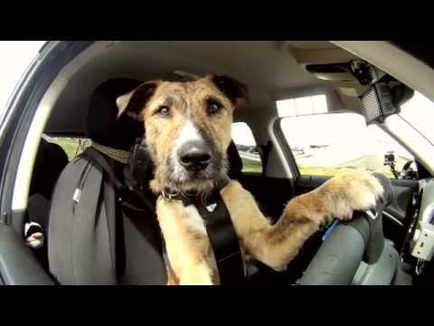 Meet The Worlds First Faithful Driving Dog