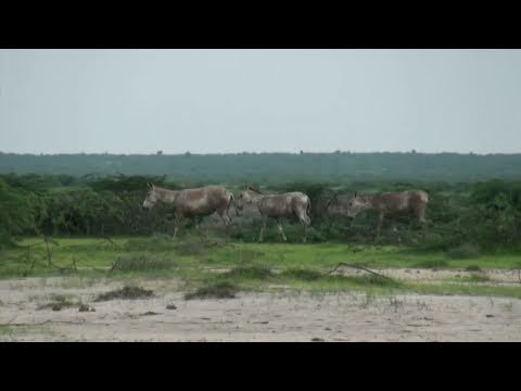 Safari In The Rann Of Kutch Wildlife Sanctuary
