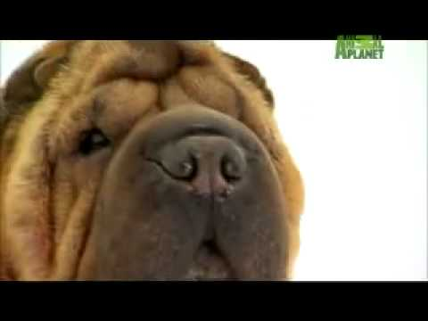 Shar-Pei : The Wrinkled Dog