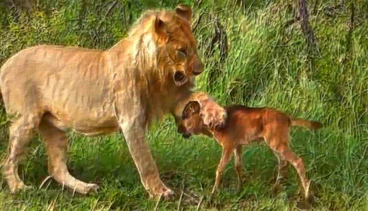 The Lioness Saves Baby Gnu