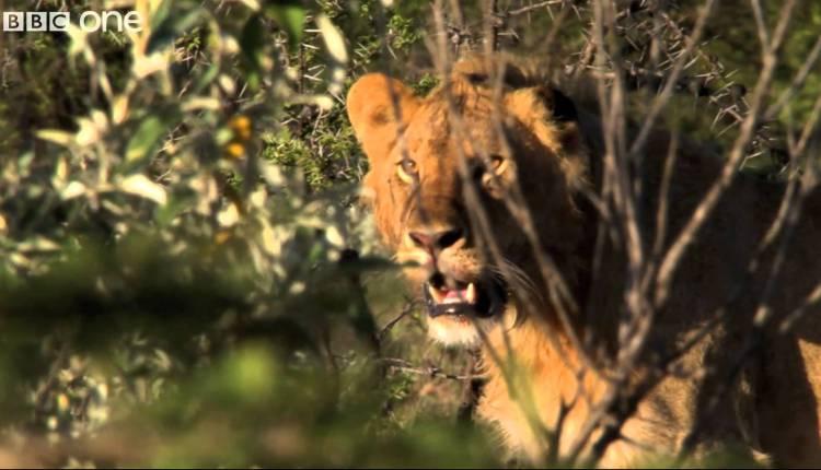Three Men vs. Fifteen Hungry Lions – Human Planet