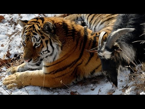 Unusual Friendship Of Tiger And Goat