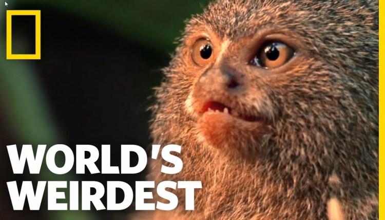Worlds Weirdest – Smallest Monkey Turf War