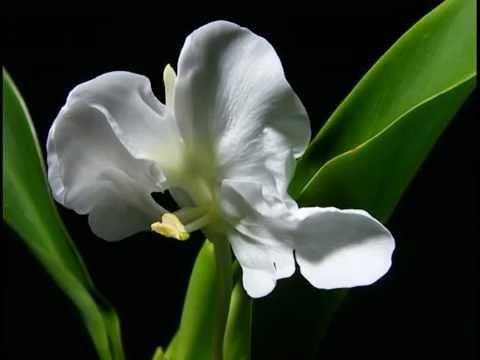 Flower blooming White Ginger