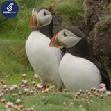 These Adorable Puffins Are In Love