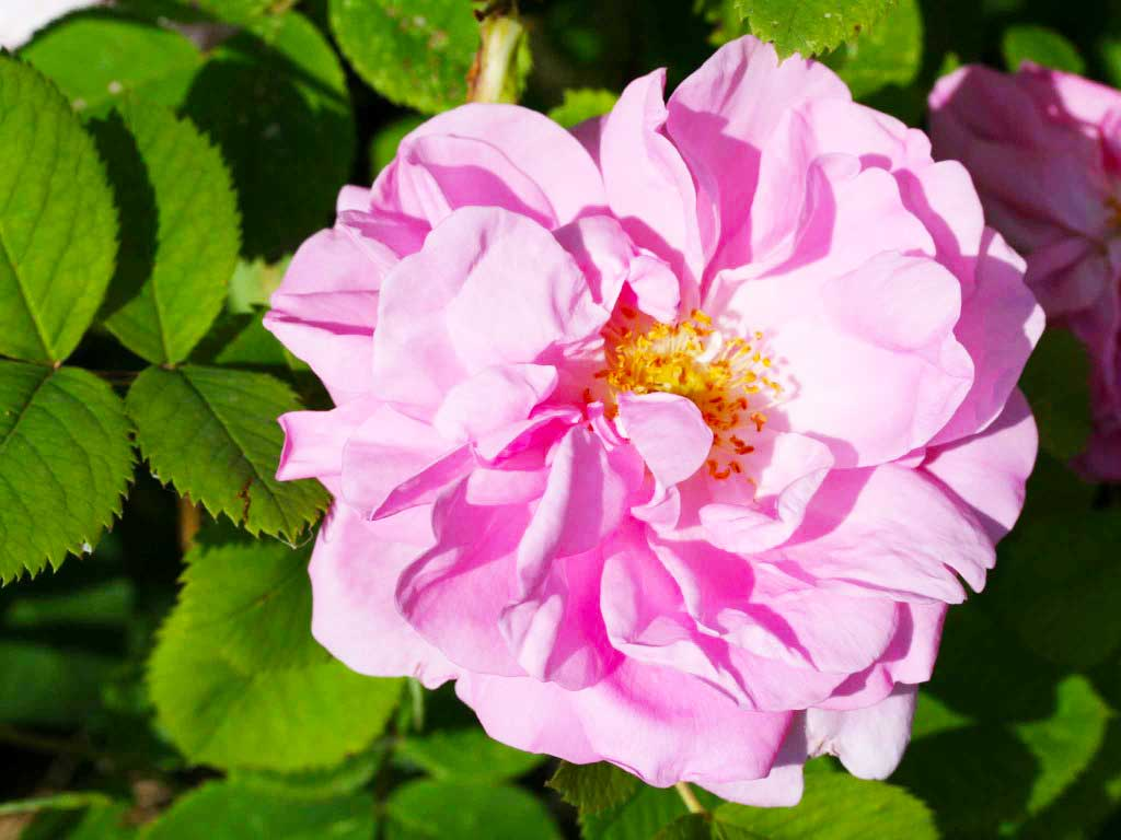 Rosa damascena, proprietà e curiosità